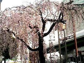 100328_sakura_web.jpg